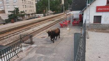 ugama vaca tren