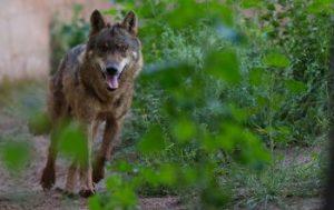 lobos tsj castilla y león
